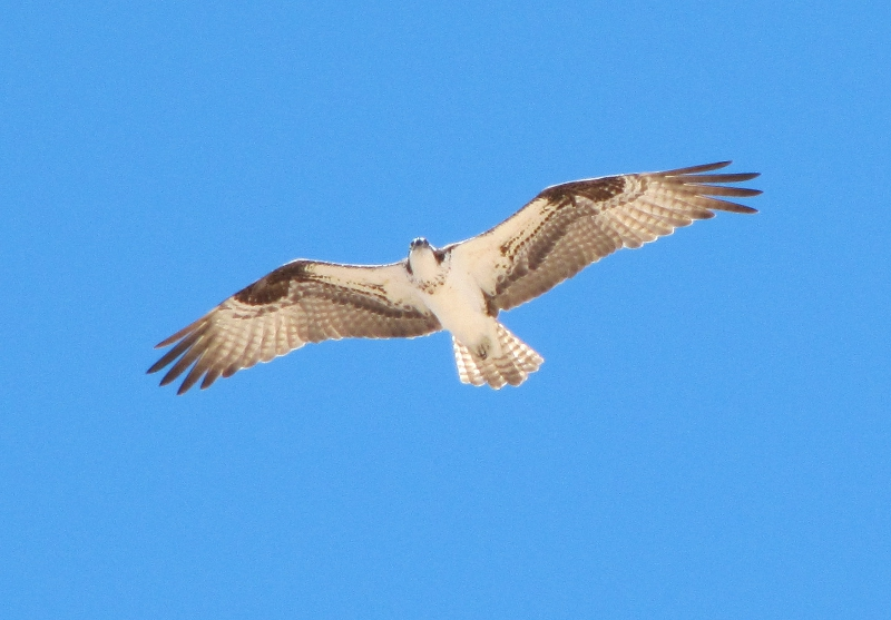 Osprey Flying Image