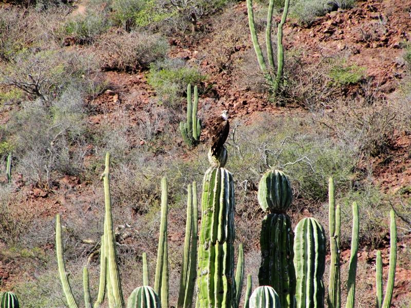 Osprey On Cactus